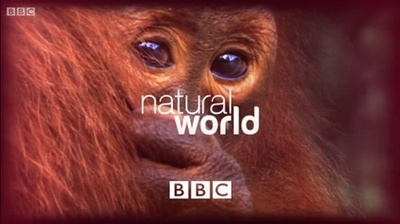 bbc, natural world, orangutang